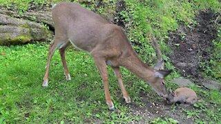 Bailey's My Rabbit and a Wild Deer