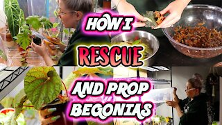 How To Propagate Begonias Part 1 - Simple Method