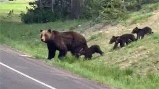 Traffic interrupted as family of bears cross street