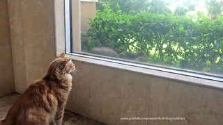 Bold Squirrel Teases Frustrated Cat