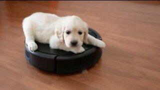Labrador puppy rides robot vacuum cleaner