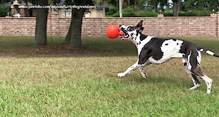 Funny Great Dane Amuses Himself Kicking His Jolly Ball