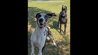 Great Danes Celebrate Leap Year With Leaps That Will Make You Laugh