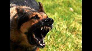 Shepherd Attacks Pitbull