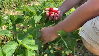 Farmers struggle with crops during recent drought