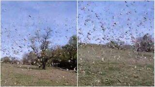 Imponerende gresshoppe-invasjon i Argentina