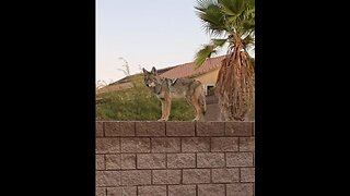 Coyotes seen roaming neighborhoods