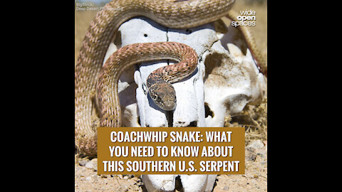 Coachwhip Snake: What You Need to Know About This Southern U.S. Serpent