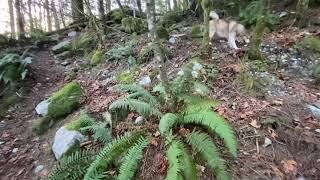 husky enjoying freedom relaxing forest Cascade Falls Regional Park British Columbia Canada