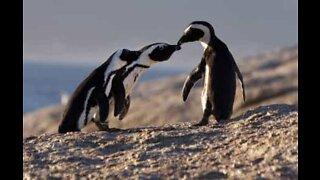 Pourquoi les pingouins sont si adorables?