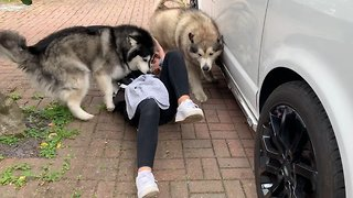 Malamutes Excitedly Swarm Their Favorite Visitor
