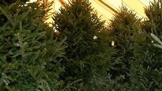 Christmas trees in short supply