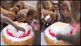 Monkeys celebrate a birthday