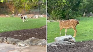 Puppy, kitty & fawn all play together in the backyard
