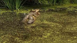 Turtle-y Relaxed: Group Of Turtles Sleep On Log Next To Massive Alligator