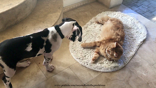 Lounging Cat Ignores Barking Great Dane Puppy