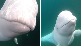 Friendly beluga whale steals GoPro before returning it to kayaker