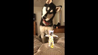 Husky super confused by sound of baby's laugh
