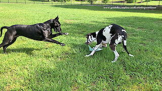 Great Danes get totally distracted while delivering the newspaper