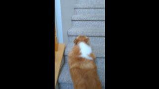 Corgi Bounces Upstairs