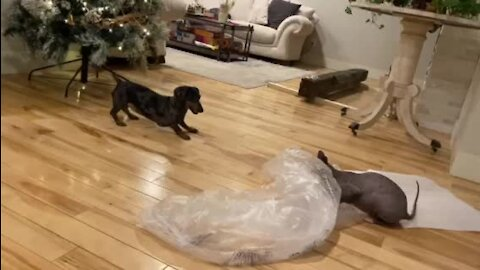 Energetic dachshund really wants to play tag with Sphynx cat