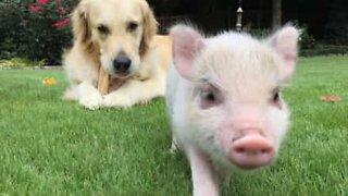 Amizade inesperada entre porco bebé e cão!
