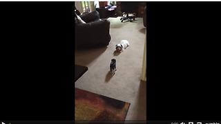 Tiny piglet plays with doggy best friend