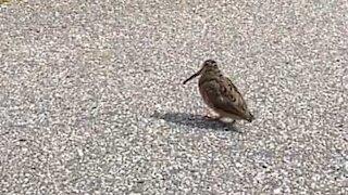 Denne fuglen kan å danse!