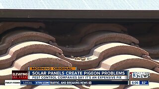Solar panels act as perfect nesting spot for pigeons