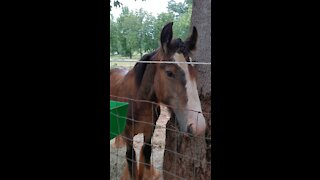 Gypsy Horse / Colt Quiggly Fix and Peppermint
