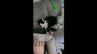 Peanut, Manx cat on the attack !
