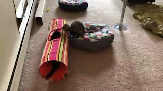 Ferret loves to chase cat buddy all around the hosue