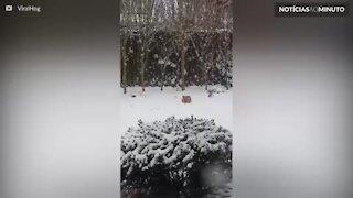 Raposa se diverte na neve com brinquedo de cachorro