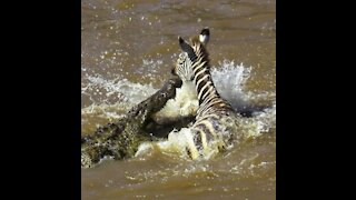 Crocodile and zebra fight very strong