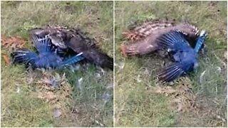 Istinto animale: falco caccia una ghiandaia