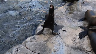 Cute Sea Lion Fumbles Fish it's Trying to Eat