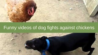 Funny videos of dog fights against chickens