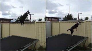 Akrobatisk hund hopper på trampoline i timesvis