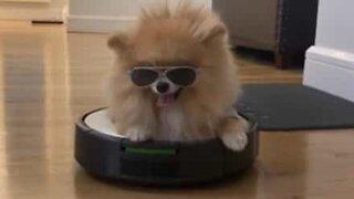 Stylish dog chills on robot vacuum cleaner