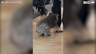 Koala passeggia tranquillo in farmacia