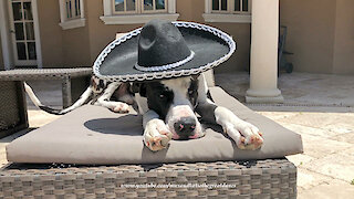 Great Dane chills out with a Cinco De Mayo sombrero siesta