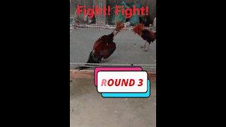 Funny fighting cocks!