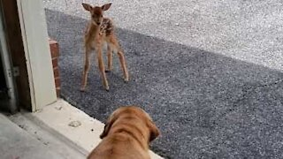 Dog meets baby deer for the first time