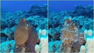 Upea maastoutuva mustekala kuvattiin Havaijilla