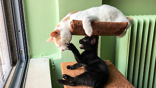 Cat Fights Baby Panther