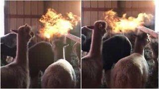 Alpaca spits fire like a dragon!