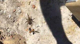 La velenosa battaglia tra una vespa e un ragno