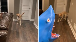 Labrador gets humorously scared by owner's shark puppy