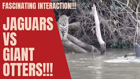 [Fascinating] interaction between Jaguars and Giant Otters!!!