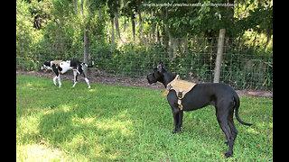 Great Danes Enjoy a Walk With New Harnesses